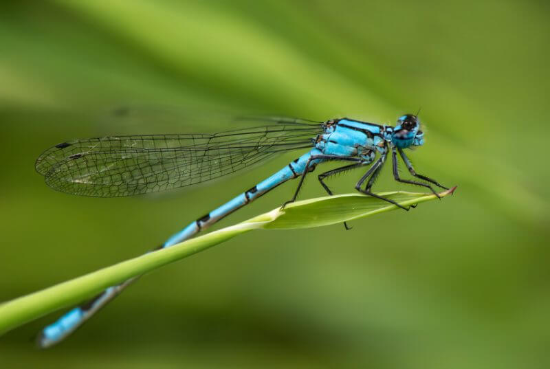 Damselfly on a blade of grass