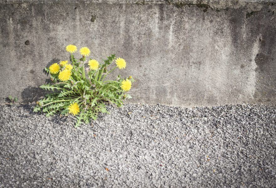 Yellow Flowers Breaking Asphalt