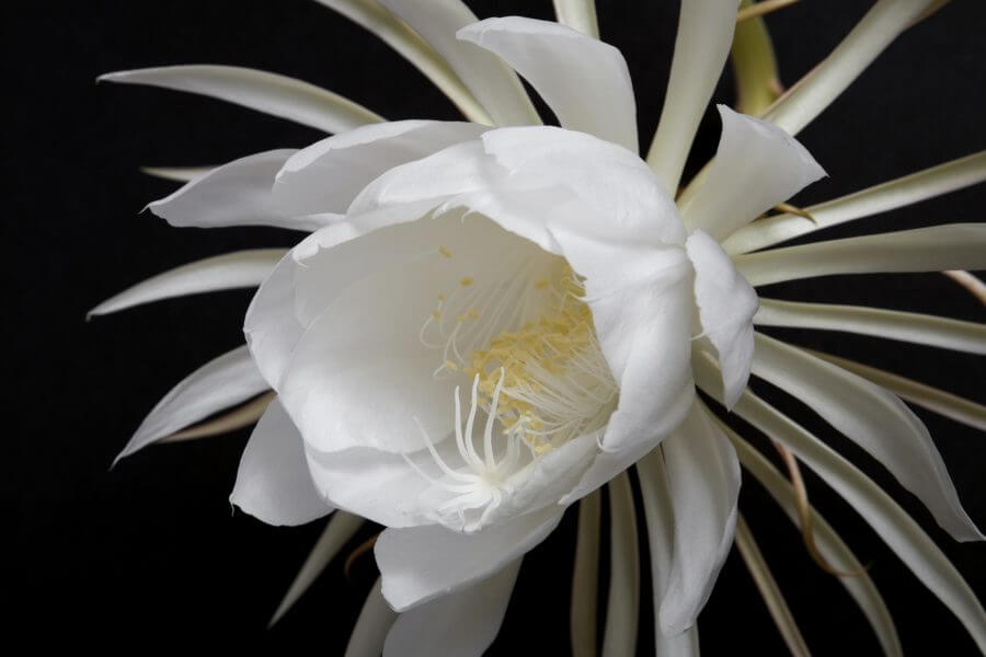 Night Blooming Cereus Cactus Bloom and Stem